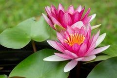 Lotus gêmeo Fotos de Stock