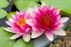Lotus gêmeo Foto de Stock Royalty Free