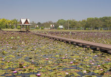 Lotus Garden Photo stock