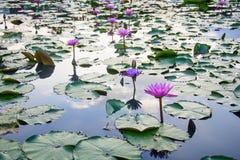 Lotus Garden Fotografering för Bildbyråer
