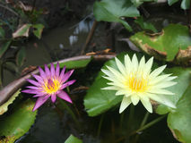 Lotus in garden. Beautiful purler lotus and yellow lotus in garden Stock Images
