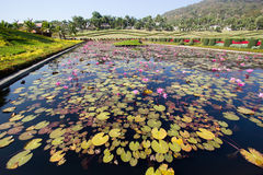Lotus Garden. In the Garden of Flora Ratchapruek Chiang Mai Thailand Royalty Free Stock Photo