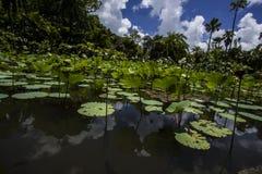 Lotus Garden på Pamplemousses - Mauritius Arkivbilder