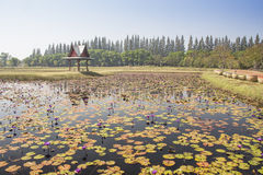 Lotus Garden Stock Image