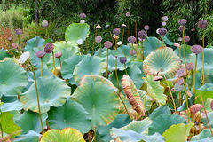 Lotus Garden Pond Fotografia de Stock Royalty Free