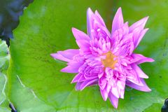 Lotus in garden. Lotus in pond garden royalty free stock photography