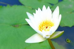 Lotus in garden. Lotus in pond garden Stock Photography