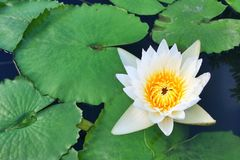 Lotus in garden Royalty Free Stock Photo