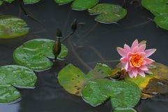 Lotus in the garden. On rainy day Stock Photos