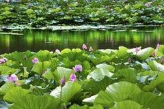 Lotus Garden Reflection Summer Palace Pekín China Imagen de archivo libre de regalías