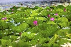 Lotus Garden Reflection Summer Palace Pekín, China Imágenes de archivo libres de regalías