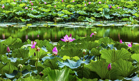 Lotus Garden Reflection Summer Palace Peking China stock afbeeldingen