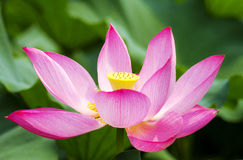 Lotus. Garden in summer flowers Royalty Free Stock Photography