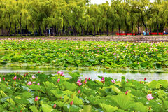 Lotus Garden Summer Palace Beijing China Stock Photos