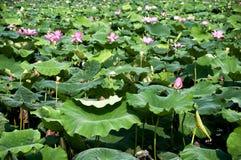 Lotus Garden at West Lake Hangzhou Royalty Free Stock Photo