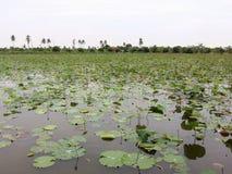Lotus-gebied in de rivier Royalty-vrije Stock Foto