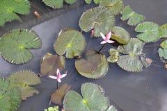 Lotus gegen die Chancen Lizenzfreie Stockfotografie