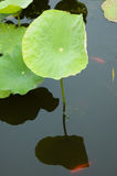 Lotus And Goldfish Royalty Free Stock Photo