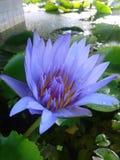 Lotus, gota Imagem de Stock Royalty Free