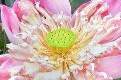 Lotus grępla Zdjęcie Stock
