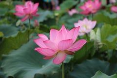 Lotus gracieux Photos libres de droits