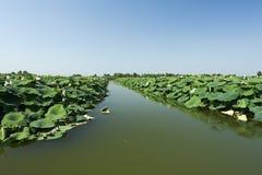 Lotus. Grazie di Curtatone (Mn),Italy,Mincio River ,the Natural reserve of the Mincio Valleys,the lotus plants in Juli Stock Photography
