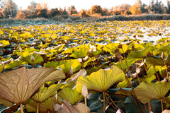 Lotus green area Stock Images