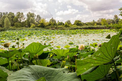 Lotus green area pond Royalty Free Stock Image