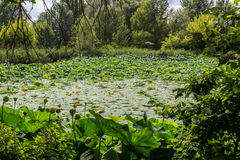 Lotus green area pond Stock Photography