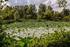 Lotus green area pond Royalty Free Stock Photos