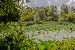Lotus green area pond Royalty Free Stock Photo