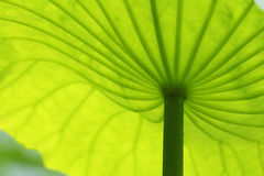 Lotus green leaf. The lotus green leaf under sunshine in summer royalty free stock photos