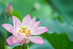 Lotus with green leaf Stock Images