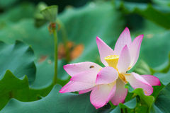Lotus with green leaf Royalty Free Stock Photo
