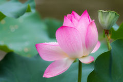 Lotus with green leaf Stock Photo