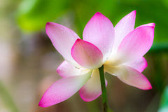 Lotus with green leaf Stock Image