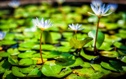 Lotus in pond in day light time Royalty Free Stock Photos