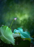 Lotus. Green lotus leaves and lotus bud Stock Photography