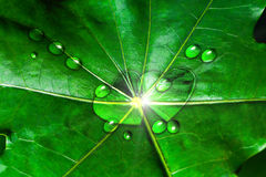 Lotus green leaves with heart drops. Stock Photography