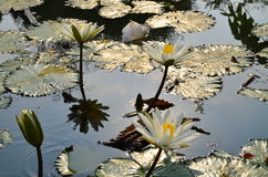 Lotus. And green leaves in the lake Stock Images
