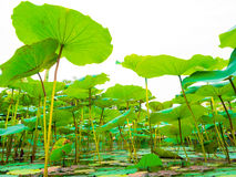 Lotus green leaves on the pond Stock Image