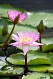 Lotus groeit royalty-vrije stock fotografie