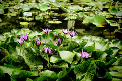 The lotus groups on canal Stock Photography