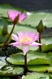 The Lotus grow up. And the lotus with beautiful colors Royalty Free Stock Photography