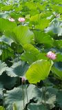 The Beautiful Green Lotus with nice Flowers stock images
