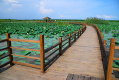 Lotus in Guangdong. Lotus pool bridge in Guangdong royalty free stock images