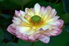 Lotus ha scoppiato in fioritura Lotus con le foglie verdi Lotus sullo stagno Immagine Stock Libera da Diritti