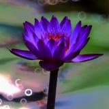 Lotus.  Royalty Free Stock Photo