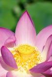 Lotus-hart Royalty-vrije Stock Afbeeldingen