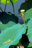 Lotus has just grown up Stock Photo